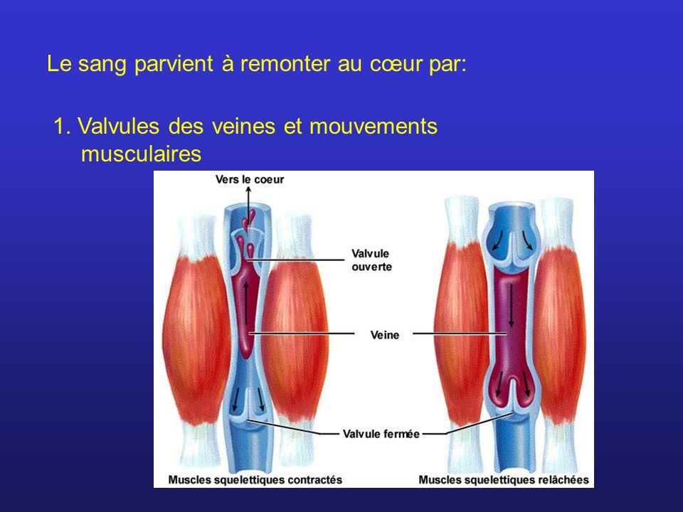 Le sang parvient à remonter au cœur par: 1.Valvules des veines et mouvements musculaires 2.