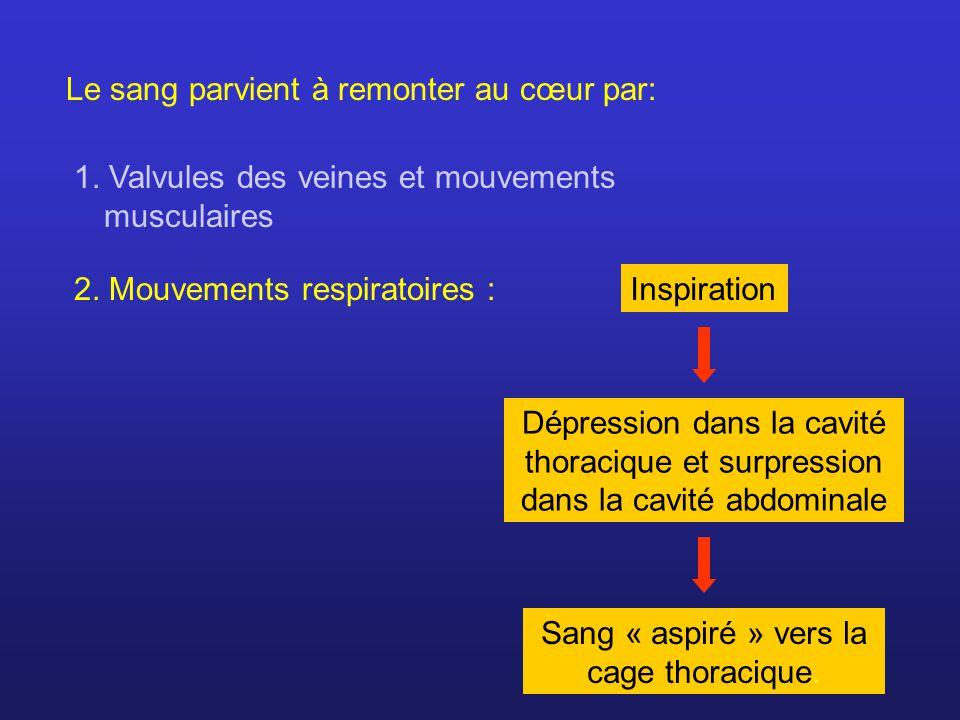 Le sang parvient à remonter au cœur par: 1. Valvules des veines et mouvements musculaires 2. Mouvements respiratoires :Inspiration Dépression dans la