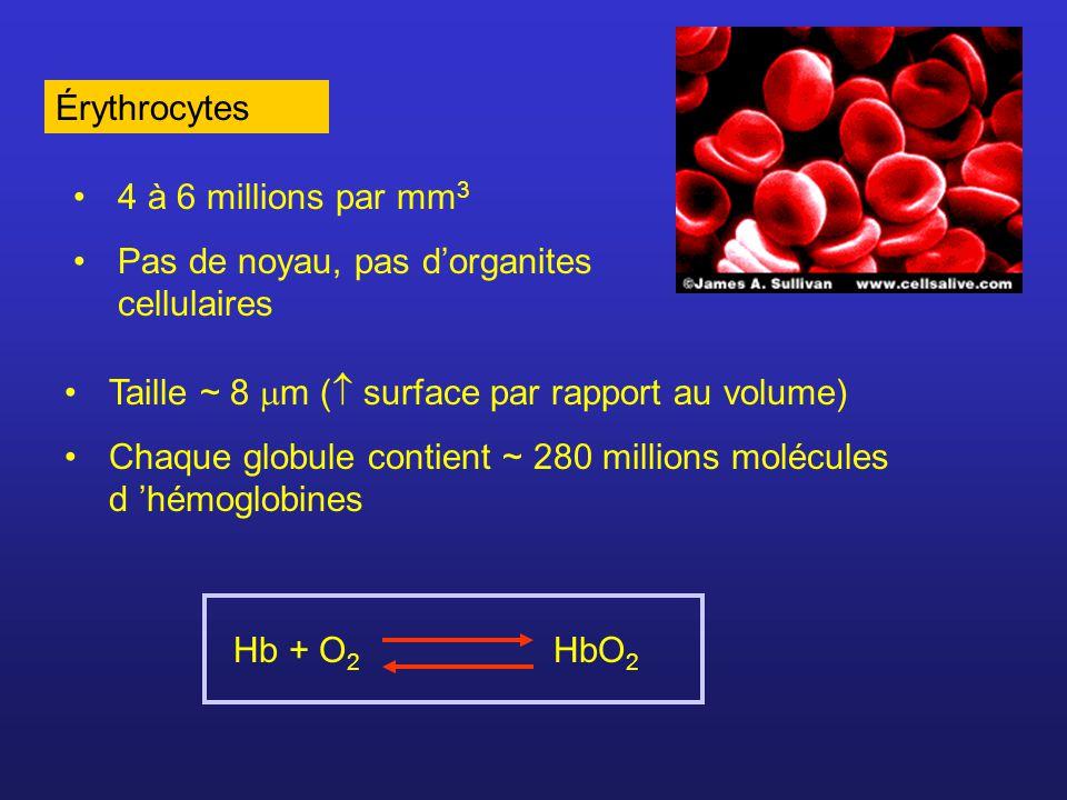 Production des globules rouges (érythropoïèse) contrôlée par lhormone érythropoïétine (EPO) produite par les reins.