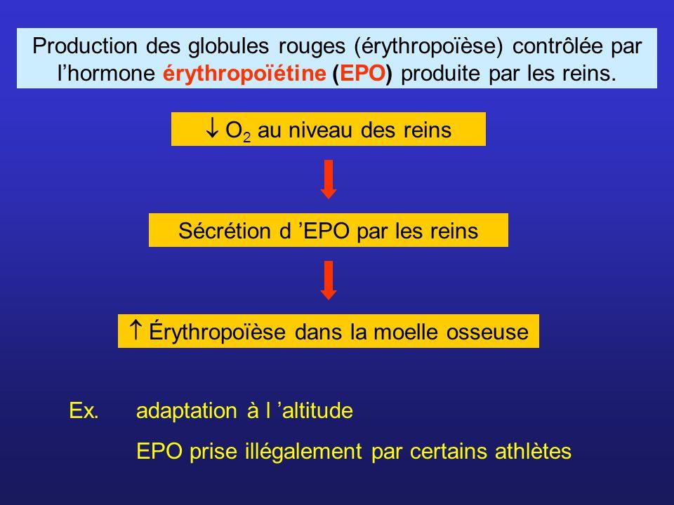 Production des globules rouges (érythropoïèse) contrôlée par lhormone érythropoïétine (EPO) produite par les reins. Ex. adaptation à l altitude EPO pr