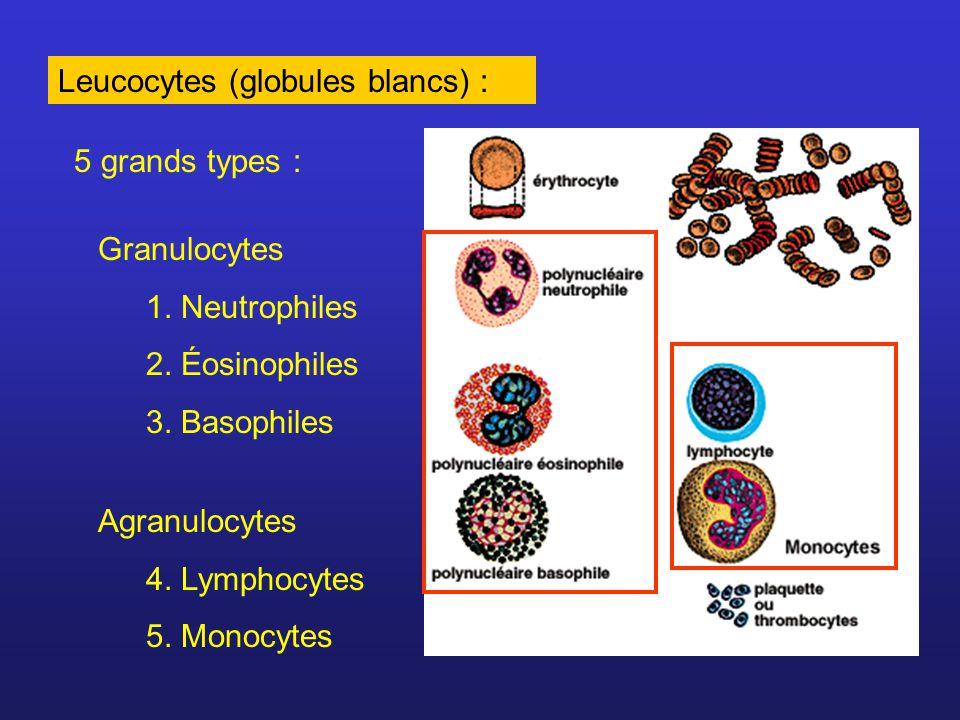 Leucocytes: La plupart sont dans les tissus (ne font que transiter par le sang) Produits dans la moelle osseuse à partir de cellules souches Certains deviennent matures dans le thymus, la rate ou les ganglions lymphatiques Responsables de la réponse immunitaire (inflammation, production danticorps, phagocytose des substances étrangères)