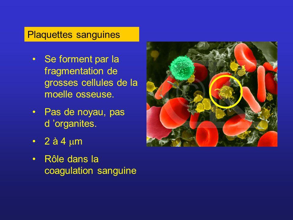 Plaquettes sanguines Se forment par la fragmentation de grosses cellules de la moelle osseuse. Pas de noyau, pas d organites. 2 à 4 m Rôle dans la coa