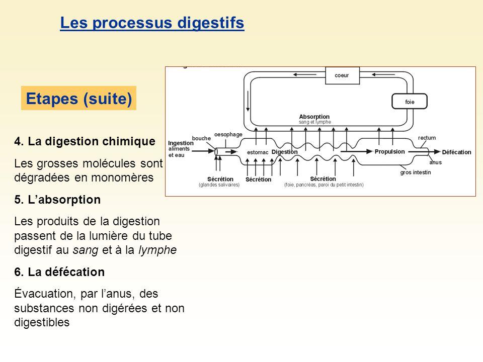 Les processus digestifs Etapes (suite) 4. La digestion chimique Les grosses molécules sont dégradées en monomères 5. Labsorption Les produits de la di