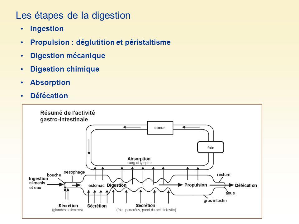 Les étapes de la digestion Ingestion Propulsion : déglutition et péristaltisme Digestion mécanique Digestion chimique Absorption Défécation