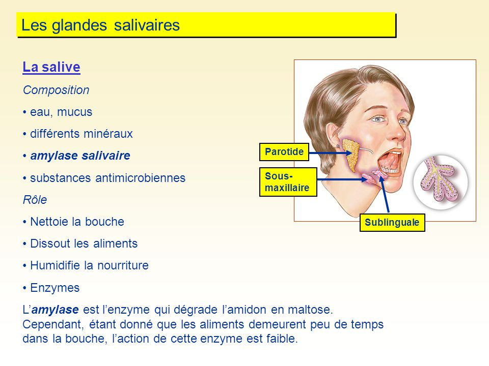 Les glandes salivaires Parotide Sublinguale La salive Composition eau, mucus différents minéraux amylase salivaire substances antimicrobiennes Rôle Ne