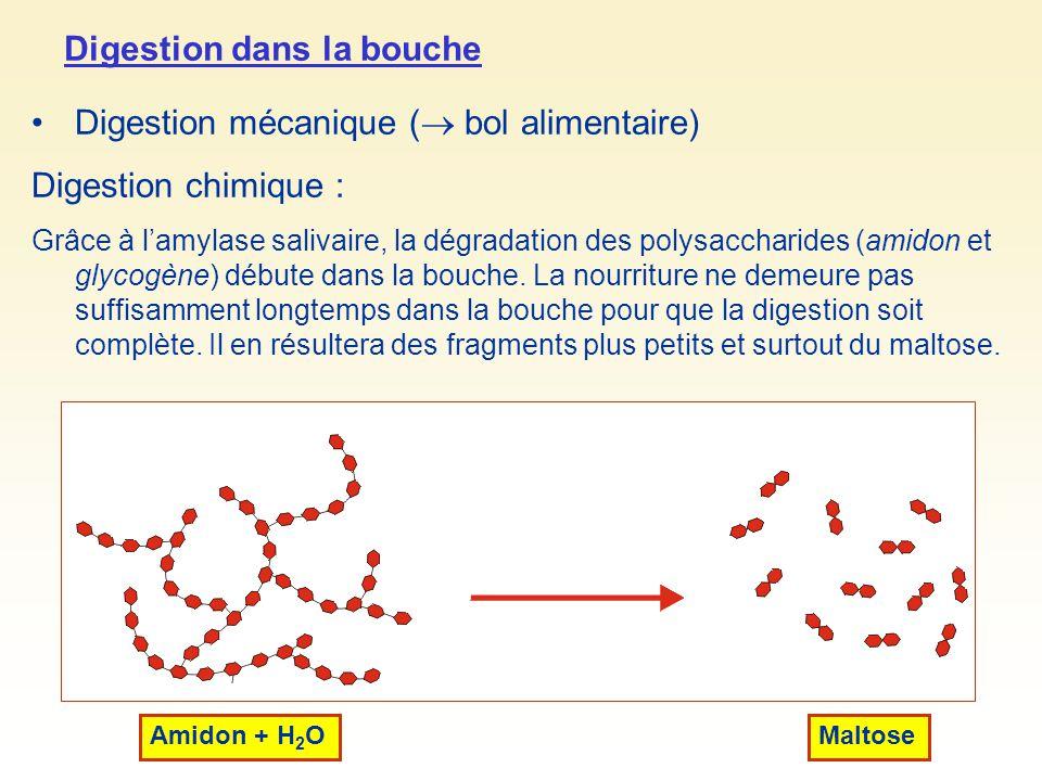 Digestion dans la bouche Digestion mécanique ( bol alimentaire) Digestion chimique : Grâce à lamylase salivaire, la dégradation des polysaccharides (a