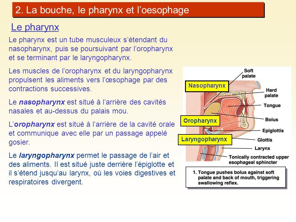 2. La bouche, le pharynx et loesophage Laryngopharynx Oropharynx Le pharynx Le pharynx est un tube musculeux sétendant du nasopharynx, puis se poursui