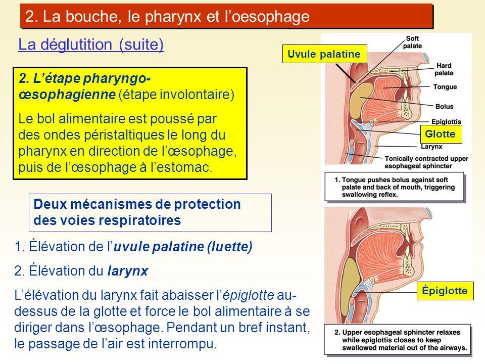 2. La bouche, le pharynx et loesophage La déglutition (suite) 2. Létape pharyngo- œsophagienne (étape involontaire) Le bol alimentaire est poussé par