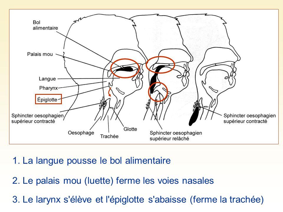 1. La langue pousse le bol alimentaire 3. Le larynx s'élève et l'épiglotte s'abaisse (ferme la trachée) 2. Le palais mou (luette) ferme les voies nasa