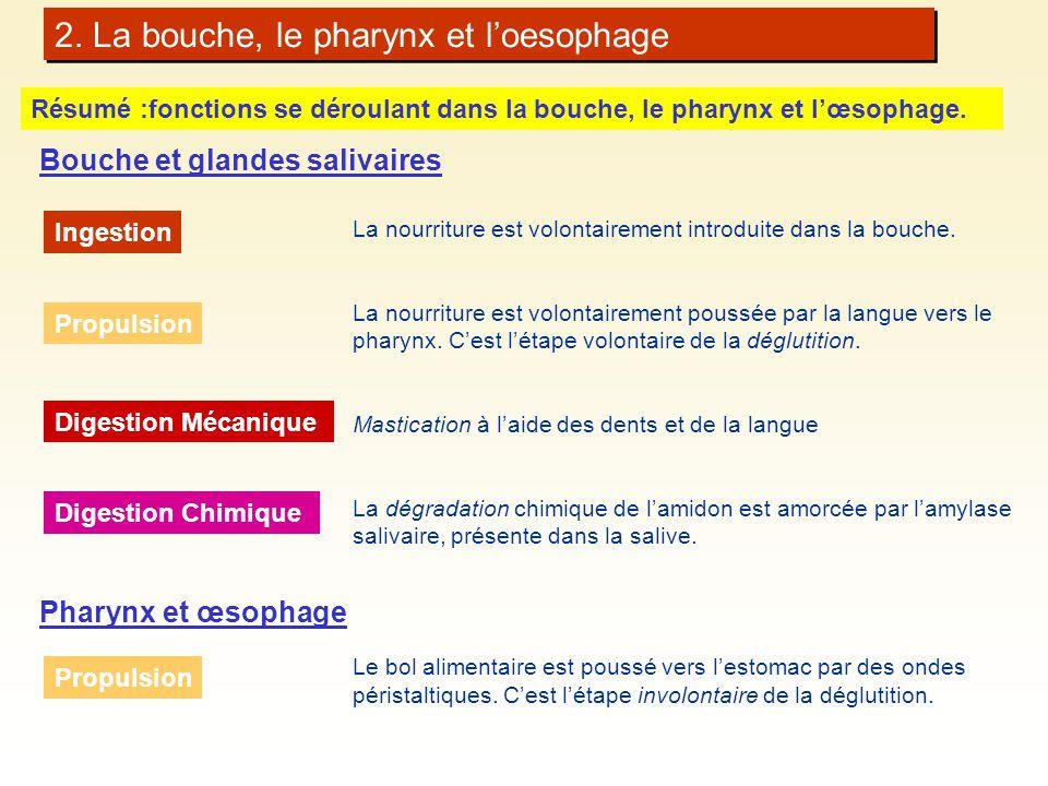 2. La bouche, le pharynx et loesophage Résumé :fonctions se déroulant dans la bouche, le pharynx et lœsophage. La nourriture est volontairement introd