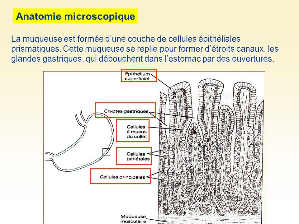 Anatomie microscopique La muqueuse est formée dune couche de cellules épithéliales prismatiques. Cette muqueuse se replie pour former détroits canaux,