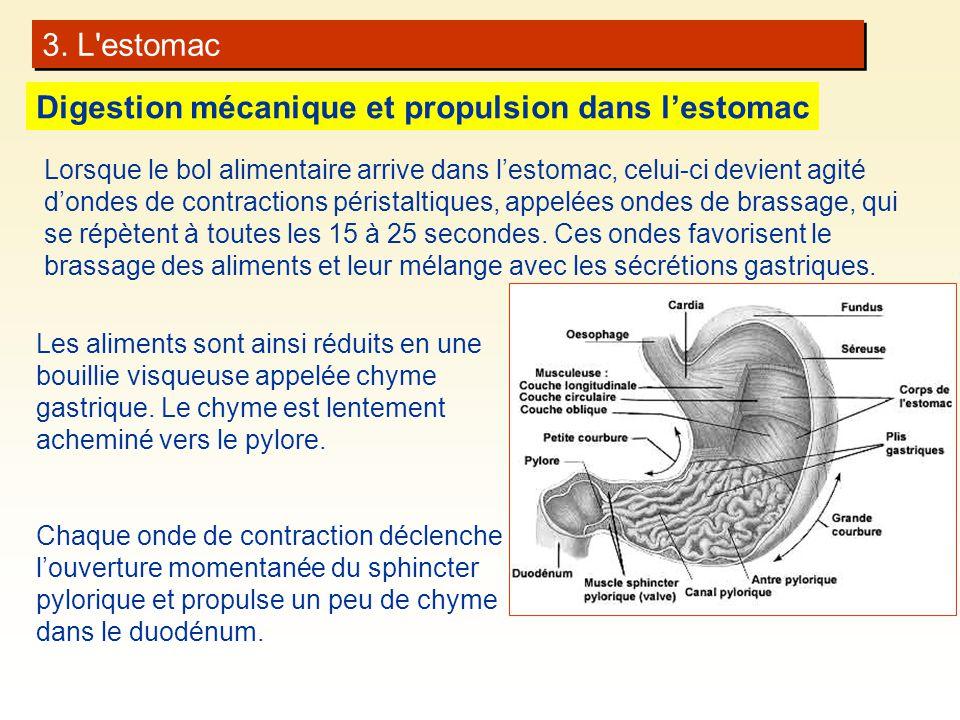 3. L'estomac Digestion mécanique et propulsion dans lestomac Les aliments sont ainsi réduits en une bouillie visqueuse appelée chyme gastrique. Le chy