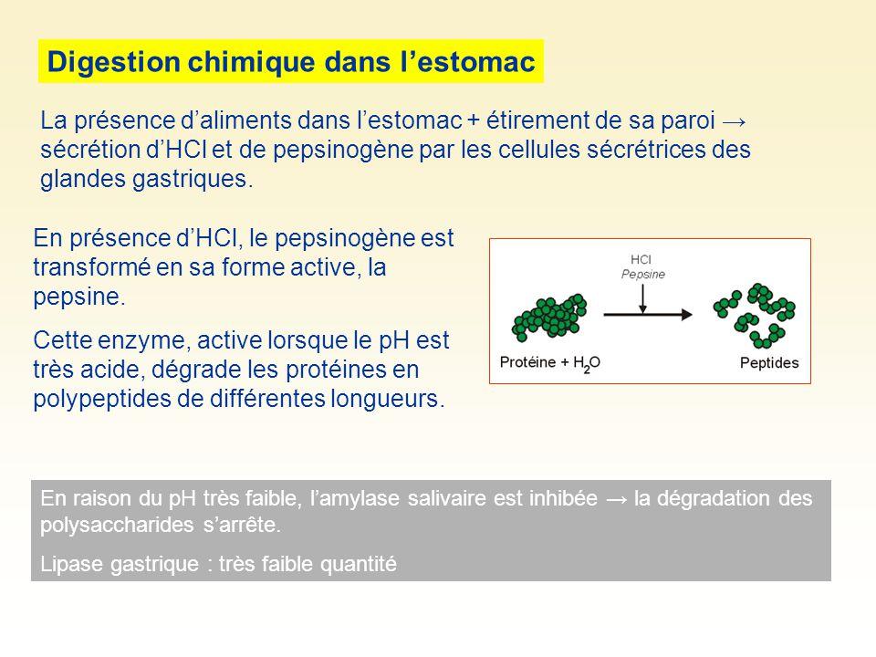 Digestion chimique dans lestomac En présence dHCl, le pepsinogène est transformé en sa forme active, la pepsine.