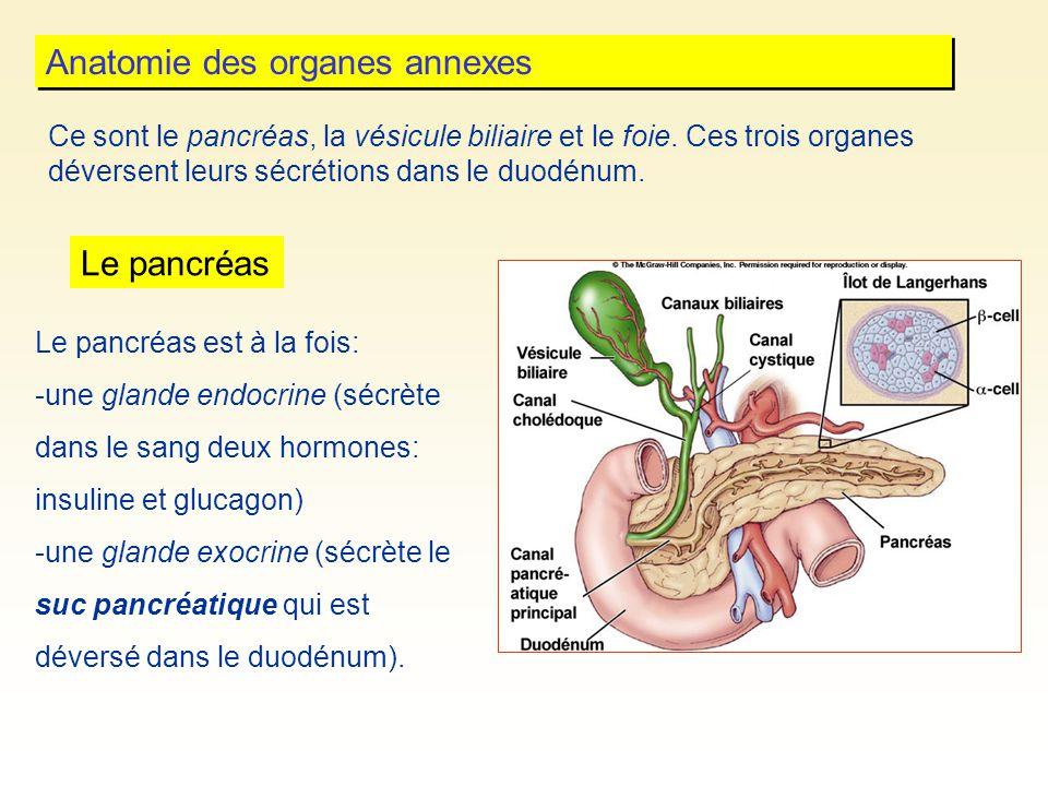 Anatomie des organes annexes Ce sont le pancréas, la vésicule biliaire et le foie. Ces trois organes déversent leurs sécrétions dans le duodénum. Le p