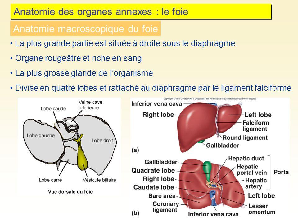 Anatomie des organes annexes : le foie La plus grande partie est située à droite sous le diaphragme. Organe rougeâtre et riche en sang La plus grosse