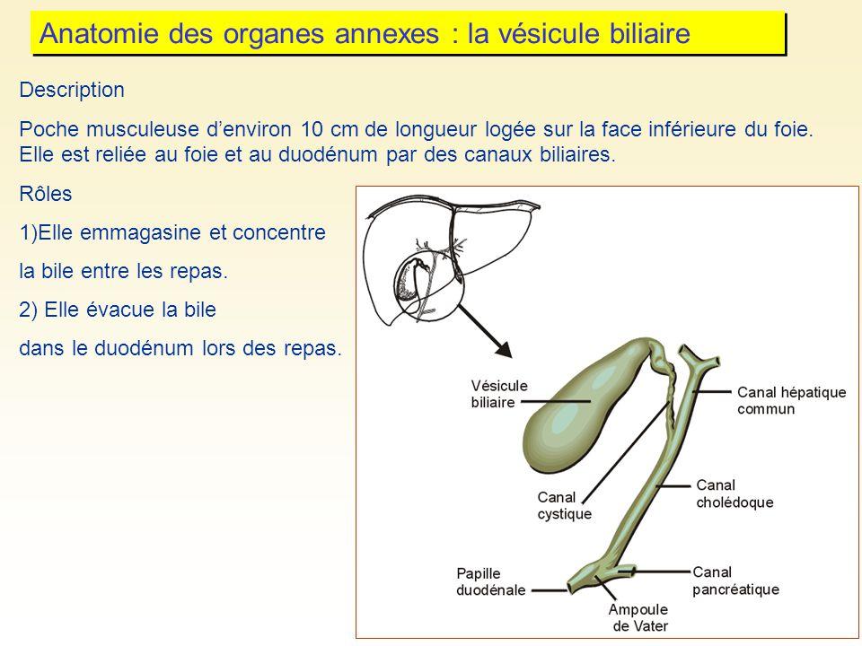 Anatomie des organes annexes : la vésicule biliaire Description Poche musculeuse denviron 10 cm de longueur logée sur la face inférieure du foie. Elle