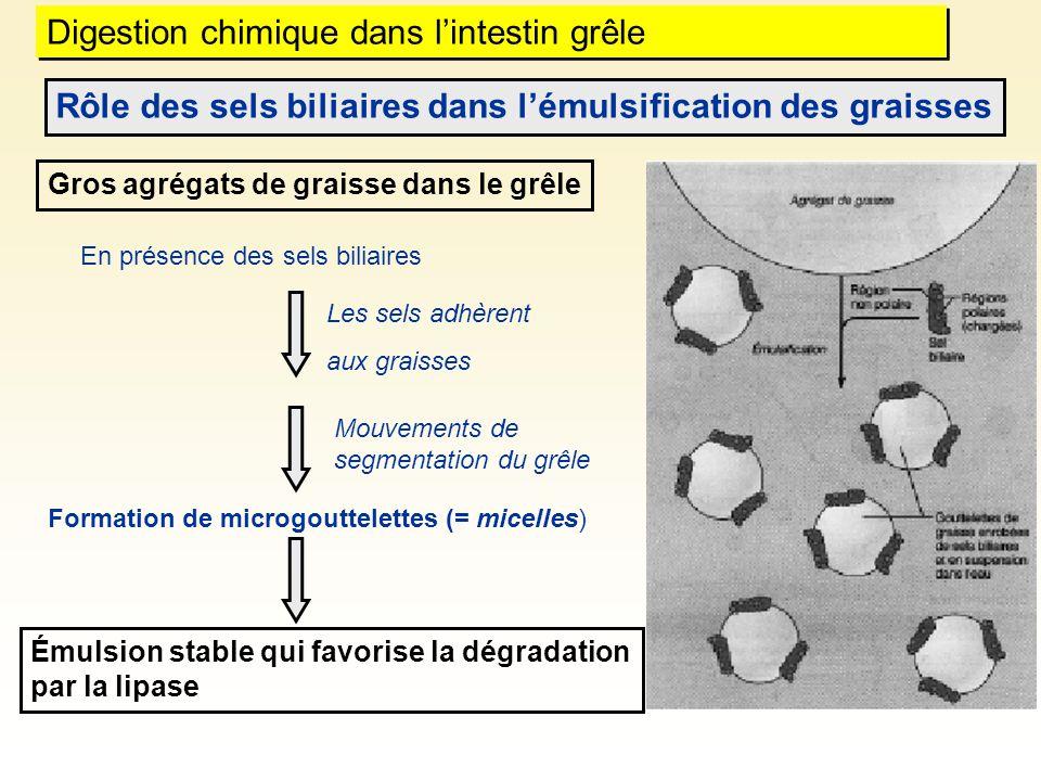 Digestion chimique dans lintestin grêle Rôle des sels biliaires dans lémulsification des graisses En présence des sels biliaires Gros agrégats de grai