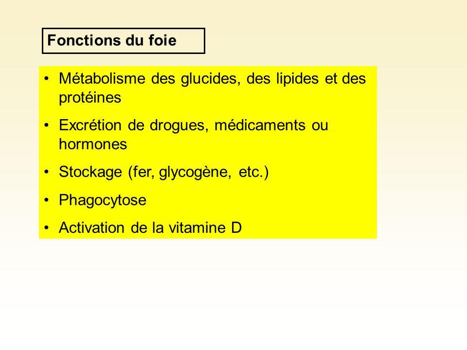 Fonctions du foie Métabolisme des glucides, des lipides et des protéines Excrétion de drogues, médicaments ou hormones Stockage (fer, glycogène, etc.) Phagocytose Activation de la vitamine D