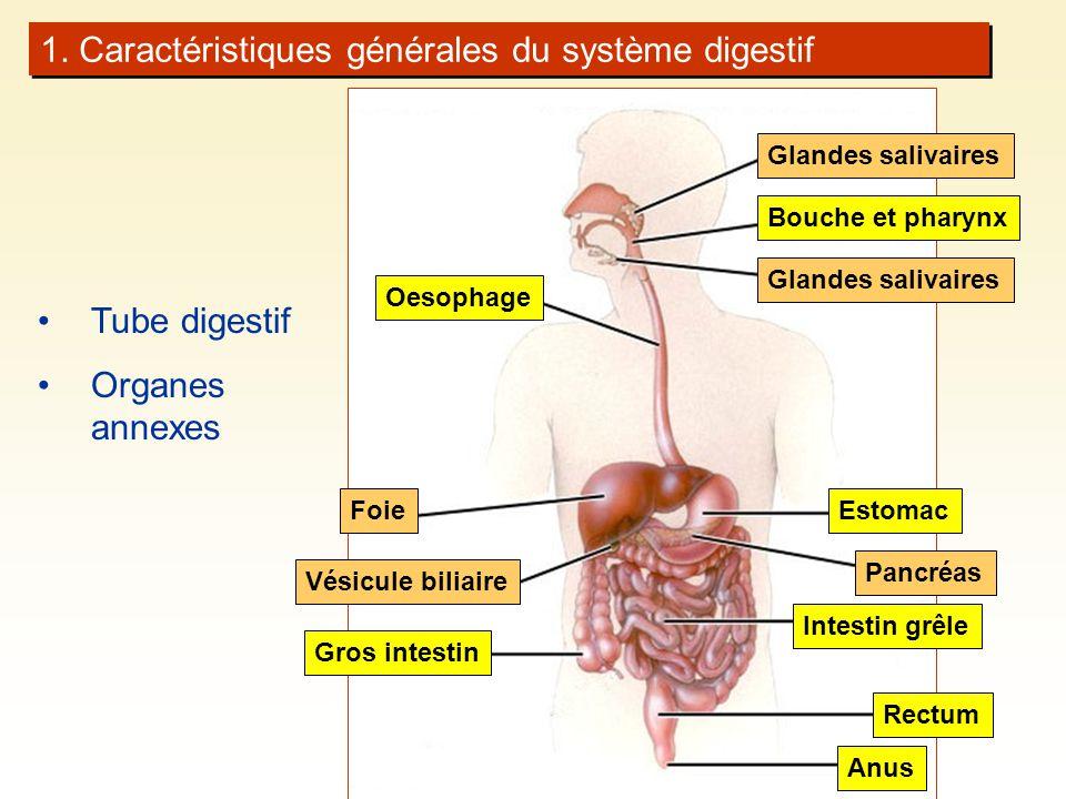 Oesophage Bouche et pharynx Glandes salivaires Foie Vésicule biliaire Intestin grêle Estomac Pancréas 1.