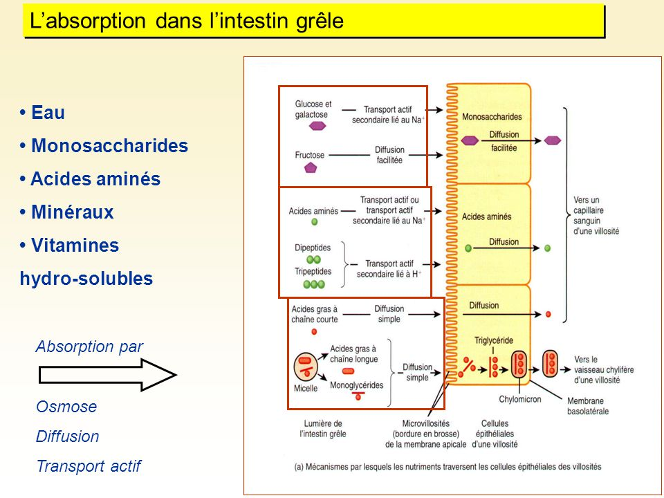 Eau Monosaccharides Acides aminés Minéraux Vitamines hydro-solubles Labsorption dans lintestin grêle Absorption par Osmose Diffusion Transport actif