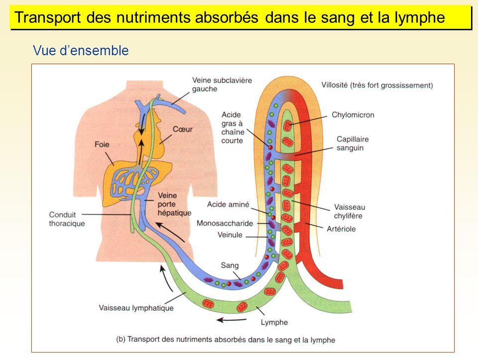 Vue densemble Transport des nutriments absorbés dans le sang et la lymphe