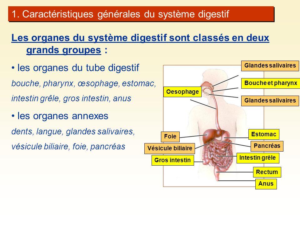 1. Caractéristiques générales du système digestif Les organes du système digestif sont classés en deux grands groupes : les organes du tube digestif b