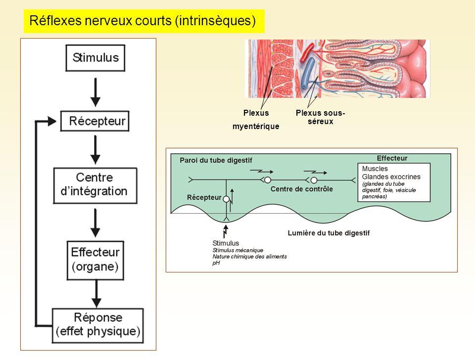 Plexus sous- séreux Plexus myentérique Réflexes nerveux courts (intrinsèques)