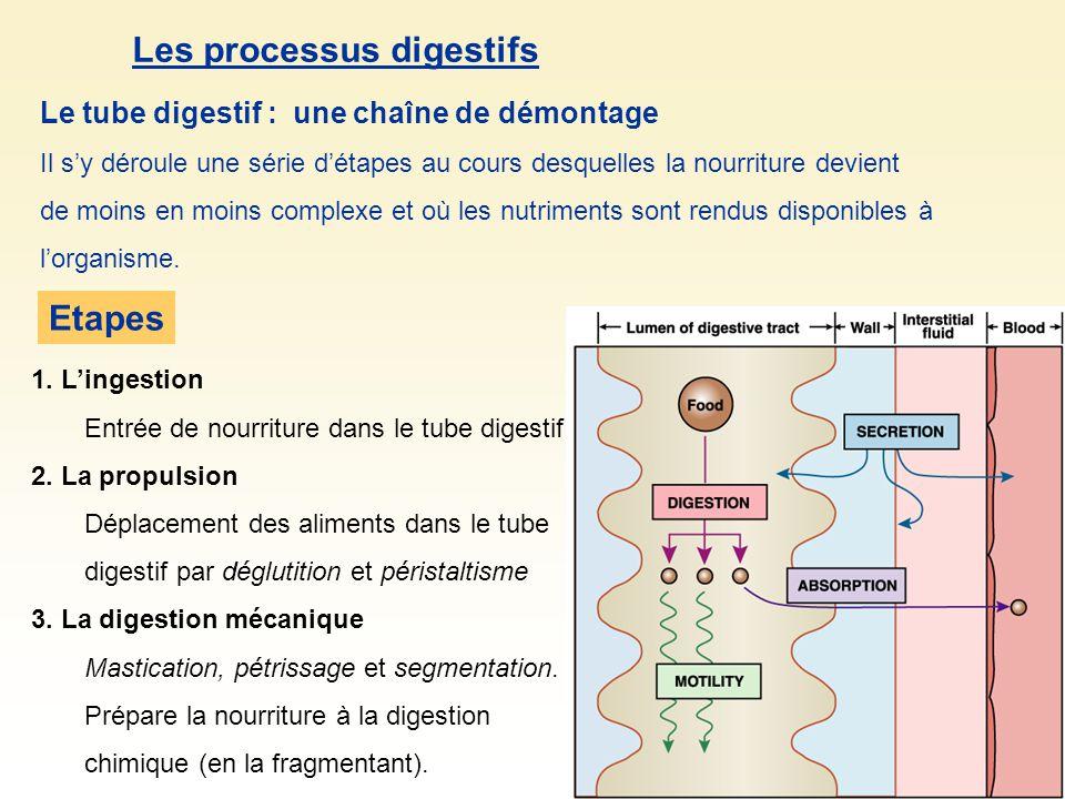 Le tube digestif : une chaîne de démontage Il sy déroule une série détapes au cours desquelles la nourriture devient de moins en moins complexe et où les nutriments sont rendus disponibles à lorganisme.