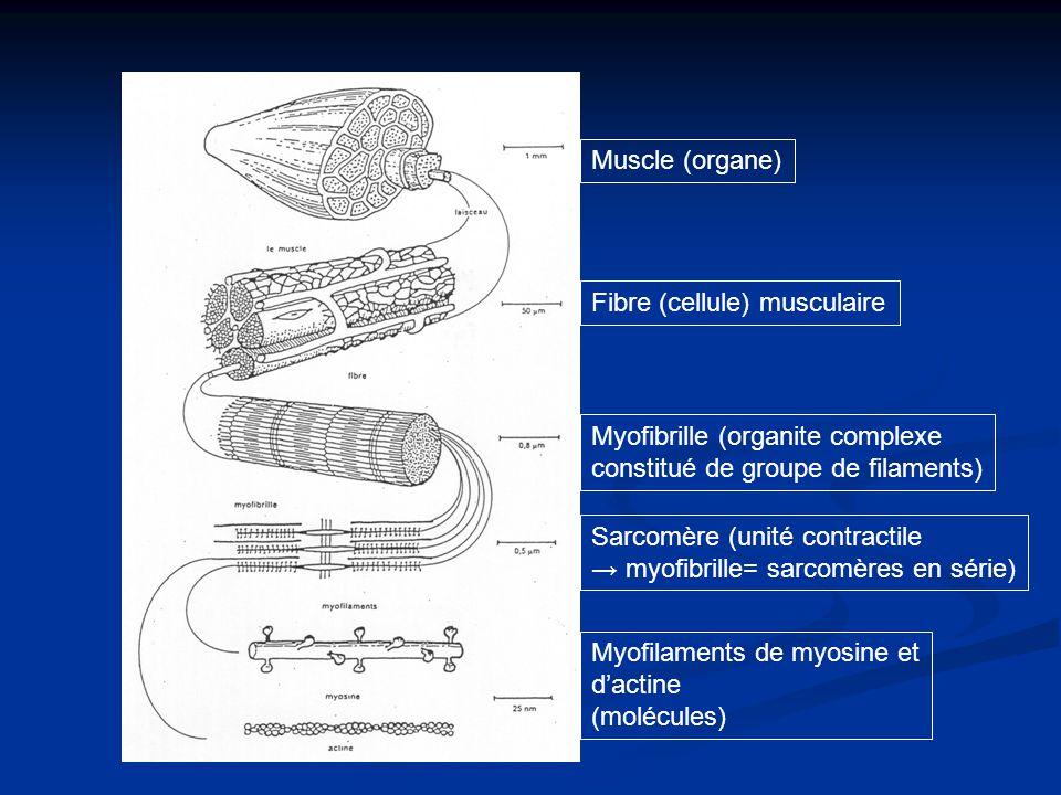 Muscle (organe) Fibre (cellule) musculaire Myofibrille (organite complexe constitué de groupe de filaments) Myofilaments de myosine et dactine (molécu