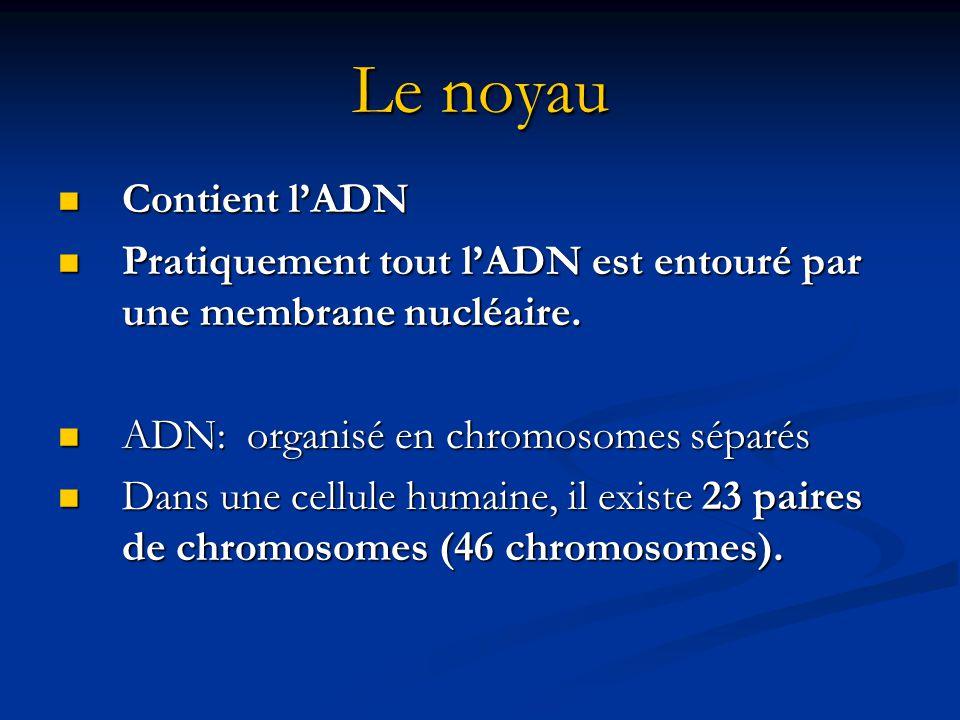 Le noyau Contient lADN Contient lADN Pratiquement tout lADN est entouré par une membrane nucléaire. Pratiquement tout lADN est entouré par une membran
