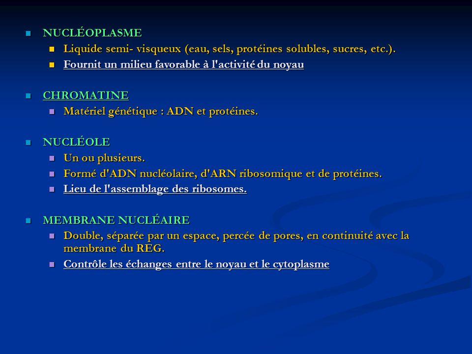 NUCLÉOPLASME NUCLÉOPLASME Liquide semi- visqueux (eau, sels, protéines solubles, sucres, etc.). Liquide semi- visqueux (eau, sels, protéines solubles,