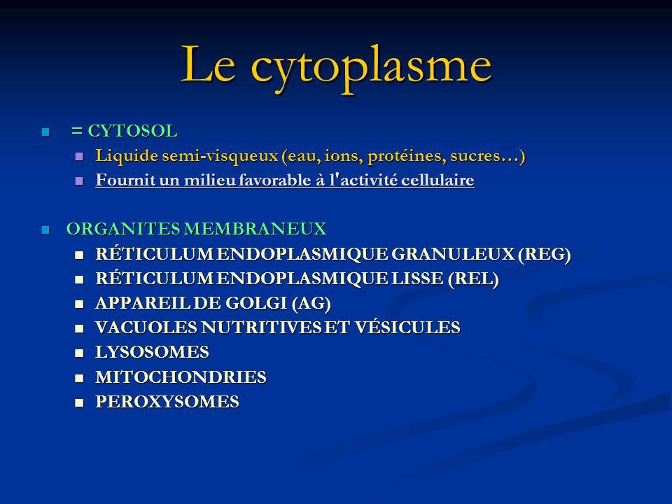 Le cytoplasme = CYTOSOL = CYTOSOL Liquide semi-visqueux (eau, ions, protéines, sucres…) Liquide semi-visqueux (eau, ions, protéines, sucres…) Fournit