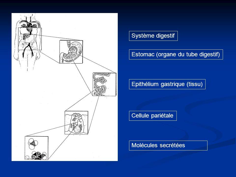 Système digestif Epithélium gastrique (tissu) Cellule pariétale Molécules secrétées Estomac (organe du tube digestif)