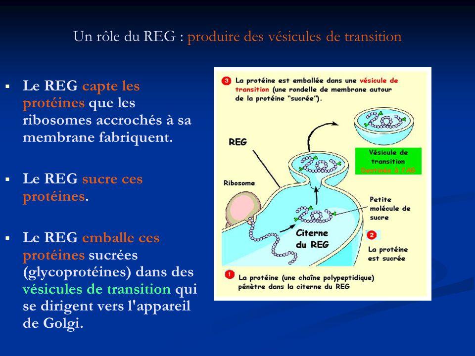 Un rôle du REG : produire des vésicules de transition Le REG capte les protéines que les ribosomes accrochés à sa membrane fabriquent. Le REG sucre ce