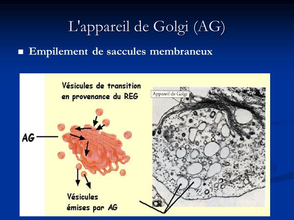 L'appareil de Golgi (AG) Empilement de saccules membraneux