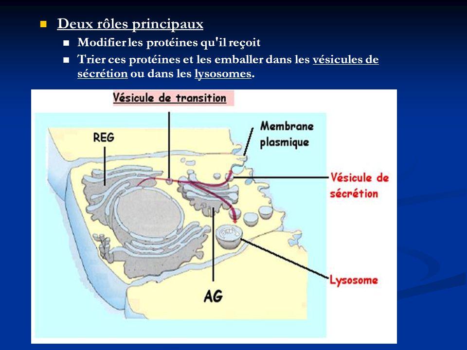 Deux rôles principaux Modifier les protéines qu'il reçoit Trier ces protéines et les emballer dans les vésicules de sécrétion ou dans les lysosomes.