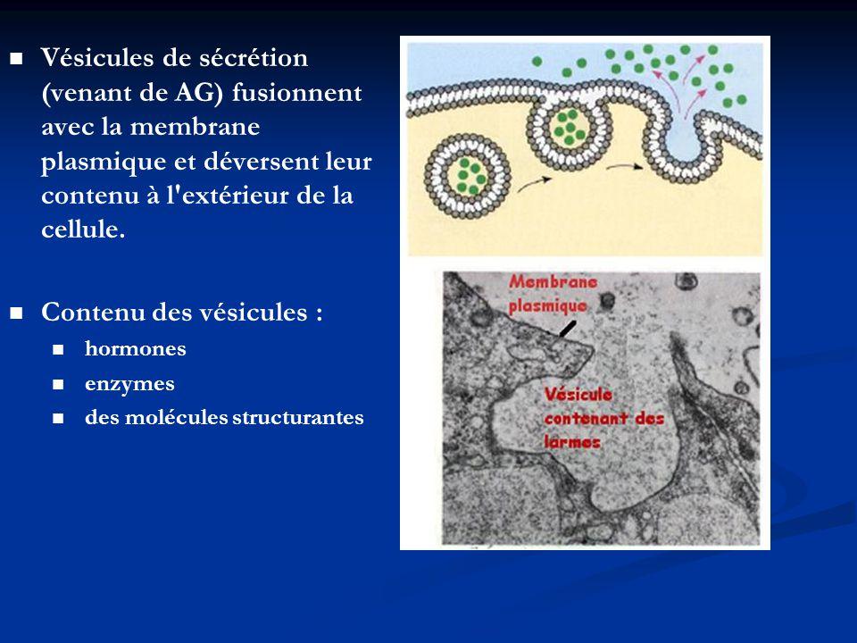 Vésicules de sécrétion (venant de AG) fusionnent avec la membrane plasmique et déversent leur contenu à l'extérieur de la cellule. Contenu des vésicul