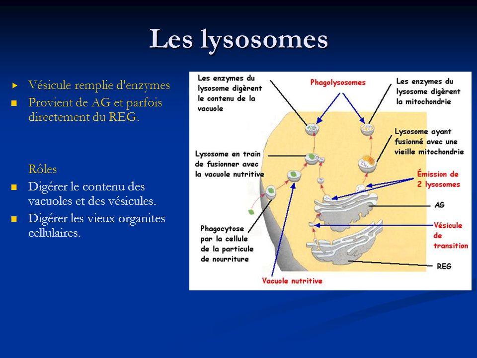 Les lysosomes Vésicule remplie d'enzymes Provient de AG et parfois directement du REG. Rôles Digérer le contenu des vacuoles et des vésicules. Digérer