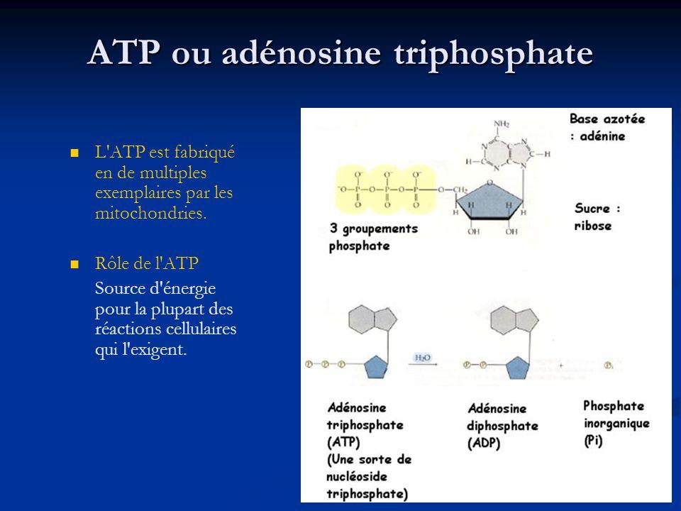 ATP ou adénosine triphosphate L'ATP est fabriqué en de multiples exemplaires par les mitochondries. Rôle de l'ATP Source d'énergie pour la plupart des