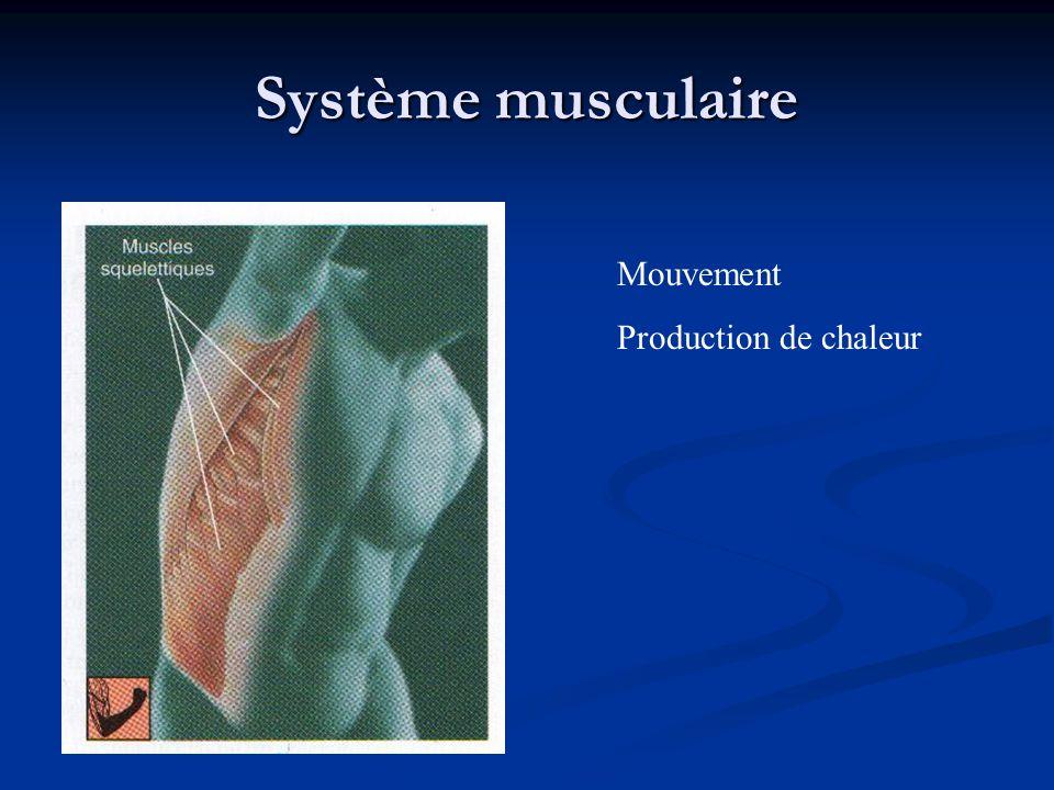 Système musculaire Mouvement Production de chaleur