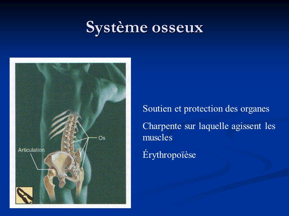 Système osseux Soutien et protection des organes Charpente sur laquelle agissent les muscles Érythropoïèse