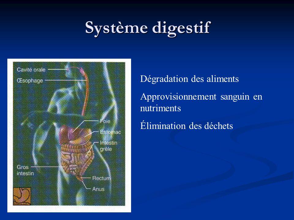Système digestif Dégradation des aliments Approvisionnement sanguin en nutriments Élimination des déchets