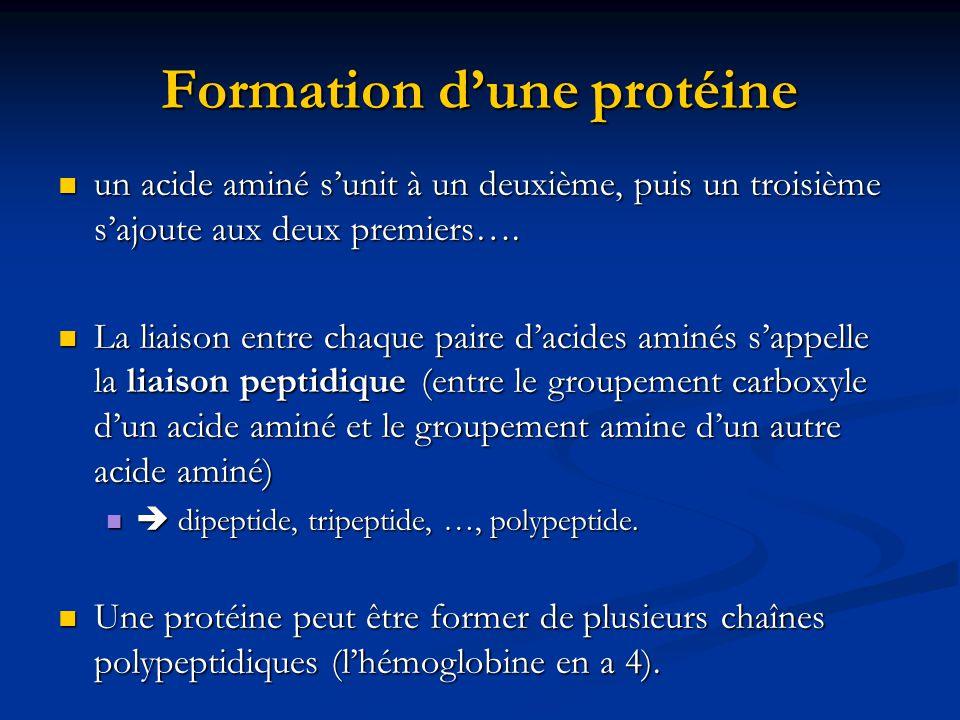 Formation dune protéine un acide aminé sunit à un deuxième, puis un troisième sajoute aux deux premiers…. un acide aminé sunit à un deuxième, puis un