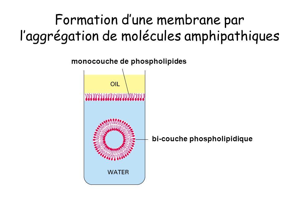 Formation dune membrane par laggrégation de molécules amphipathiques monocouche de phospholipides bi-couche phospholipidique