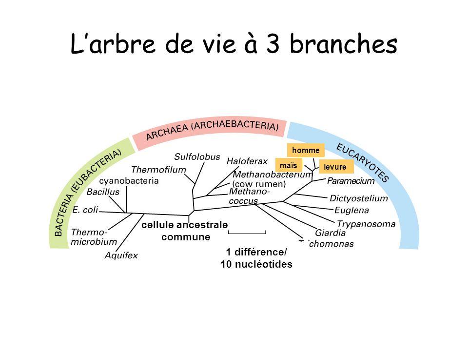 Larbre de vie à 3 branches cellule ancestrale commune 1 différence/ 10 nucléotides maïs homme levure