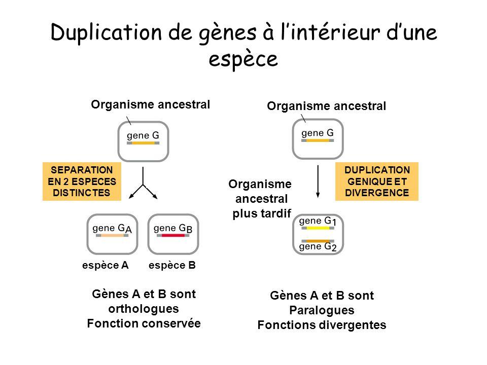 Duplication de gènes à lintérieur dune espèce Gènes A et B sont orthologues Fonction conservée SEPARATION EN 2 ESPECES DISTINCTES DUPLICATION GENIQUE