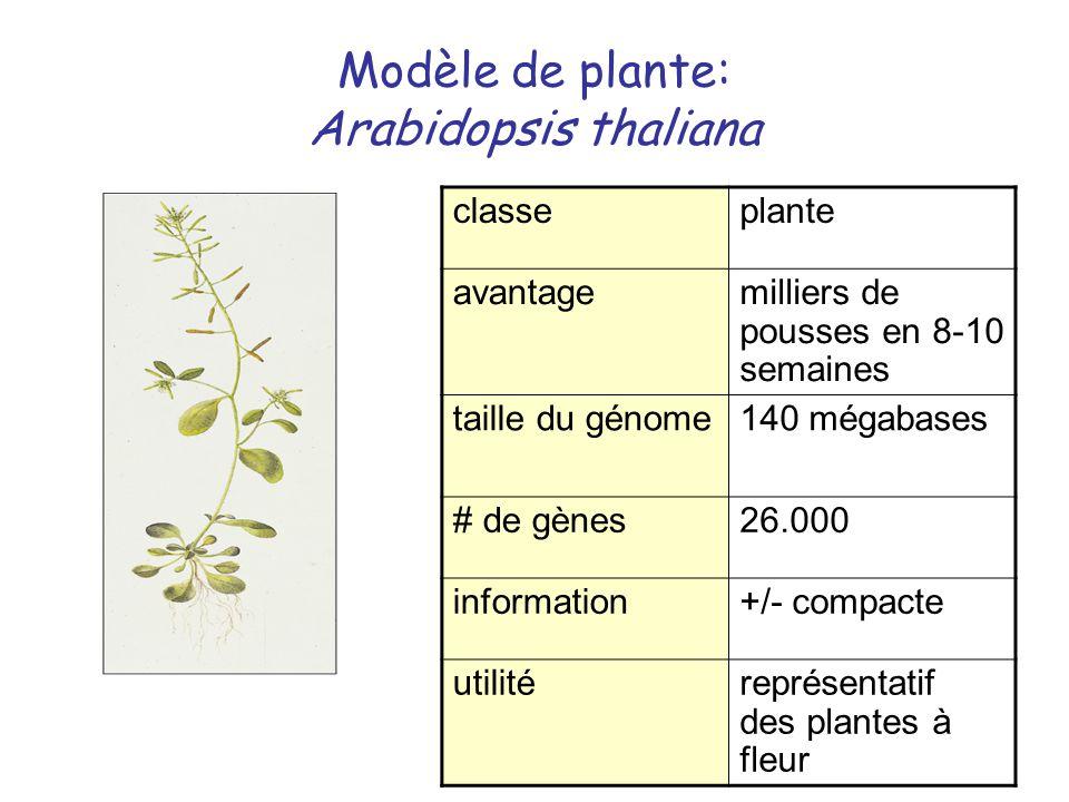 Modèle de plante: Arabidopsis thaliana classeplante avantagemilliers de pousses en 8-10 semaines taille du génome140 mégabases # de gènes26.000 inform