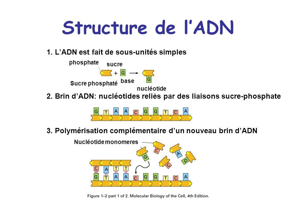 Structure de lADN 1. LADN est fait de sous-unités simples phosphate Sucre phosphaté base sucre 2. Brin dADN: nucléotides reliés par des liaisons sucre