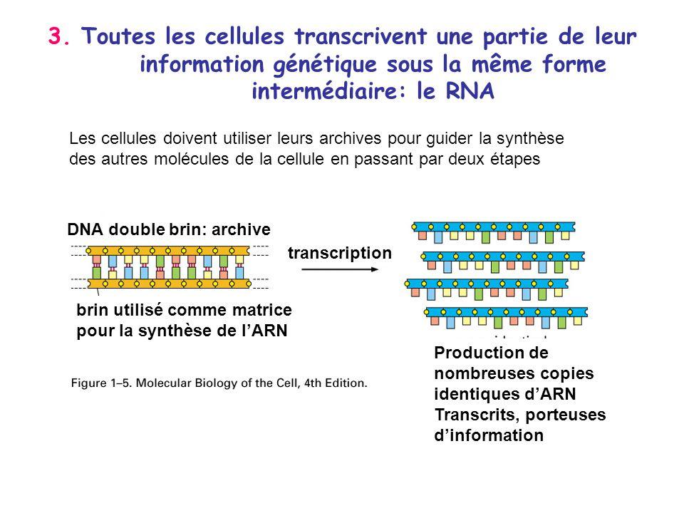 3. Toutes les cellules transcrivent une partie de leur information génétique sous la même forme intermédiaire: le RNA DNA double brin: archive brin ut