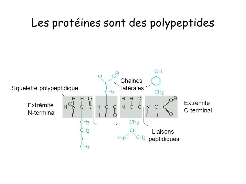 Les protéines sont des polypeptides Extrémité N-terminal Extrémité C-terminal Liaisons peptidiques Chaines latérales Squelette polypeptidique